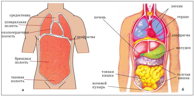 схема расположения органов человека